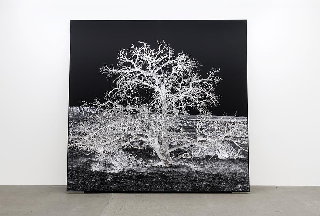 Geneviève Cadieux, Arbre seul (la nuit), 2017, Impression au jet d'encre sur papier chiffon, rehaussée à la feuille de palladium, 10 x 10 pieds